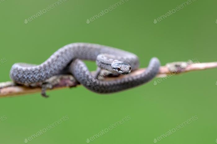 Smooth snakes eyes (Coronella austriaca) taken on heathland nature habitat