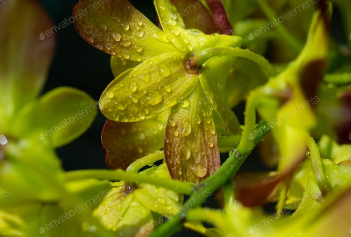 Water drops on the yellow petals of orchid blossom