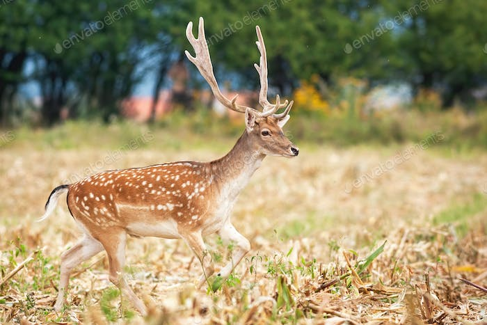 Male fallow deer escaping through agricultural field during harvest