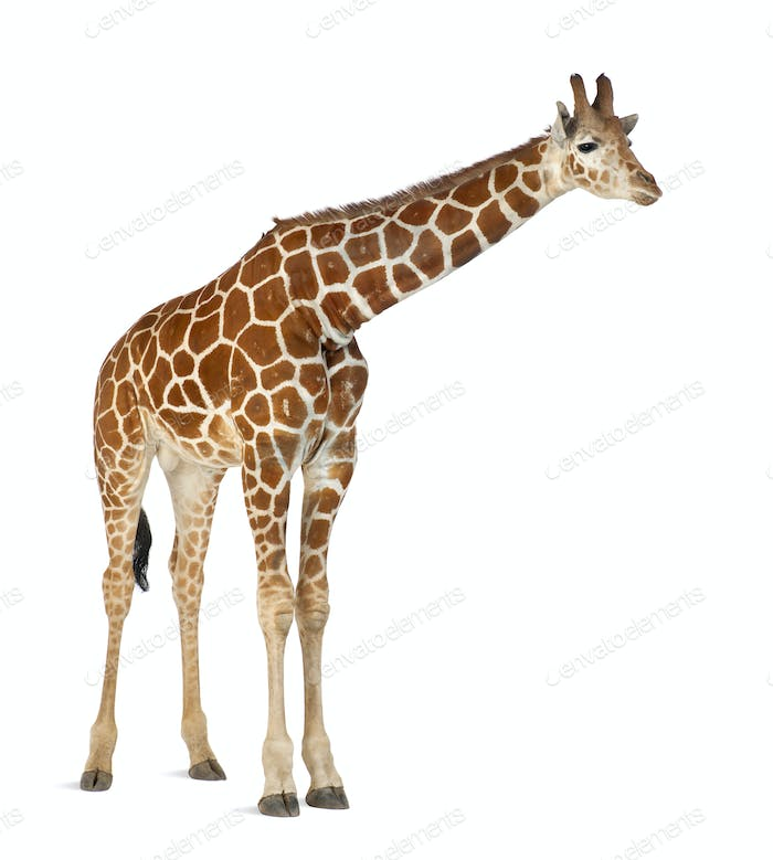 Somali Giraffe, commonly known as Reticulated Giraffe, 2 and a half years old