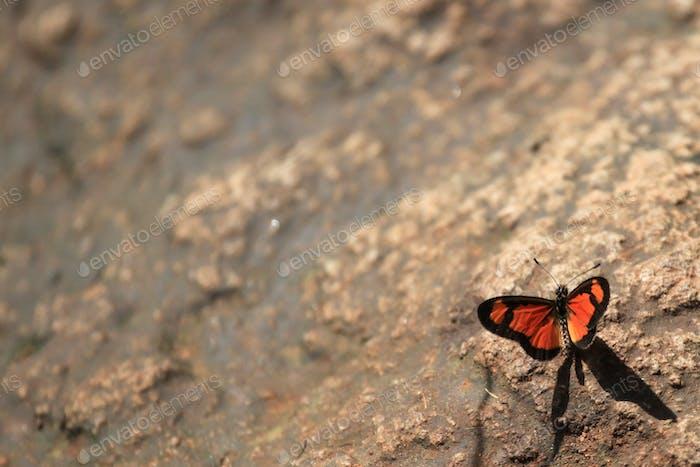 Schmetterling - Bigodi Feuchtgebiete - Uganda, Afrika