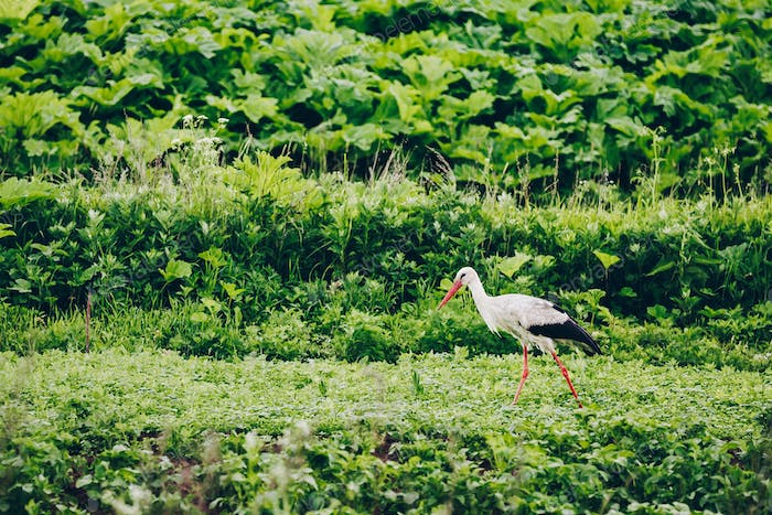 European White Stork in green summer field in Russia.