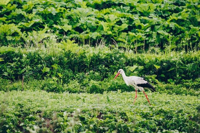 Europäischer Weißstorch im grünen Sommerfeld in Russland.