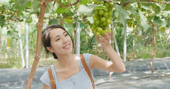 Woman finding a ripe green grape tourist farm
