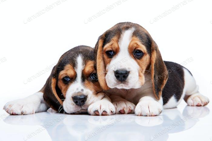 Beagle Welpen auf weißem Hintergrund
