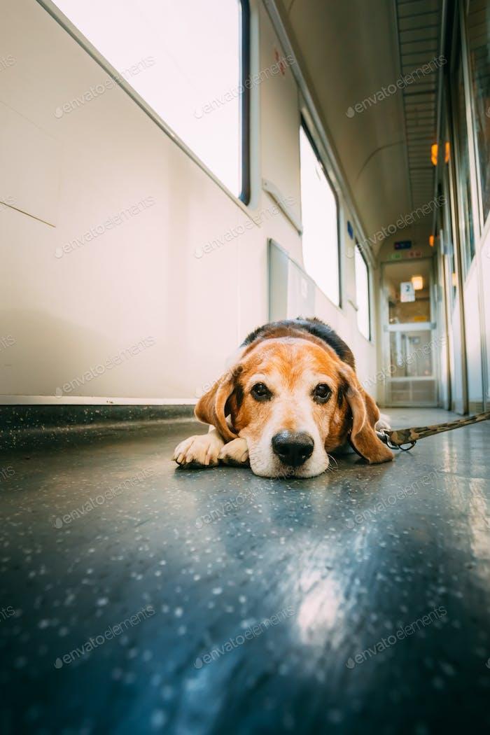 Transportation Dog In Railway Carriage