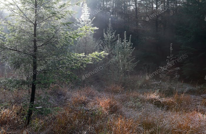 morning sunshine in autumn coniferous forest