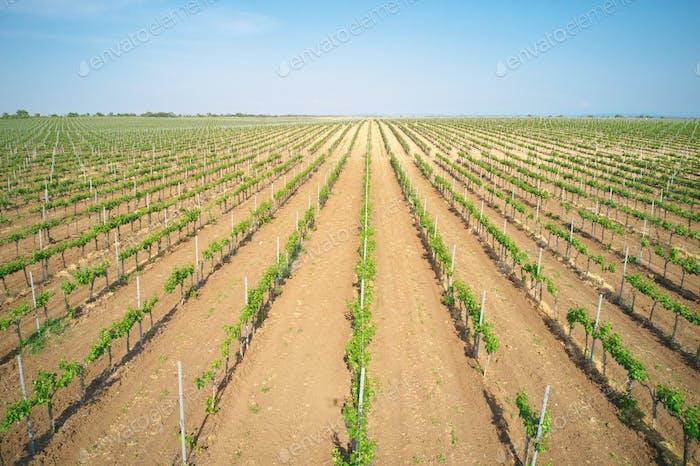 Vineyard agrecultural meadow.
