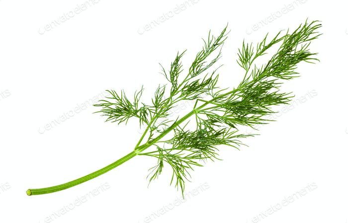 twig of fresh green dill herb isolated on white