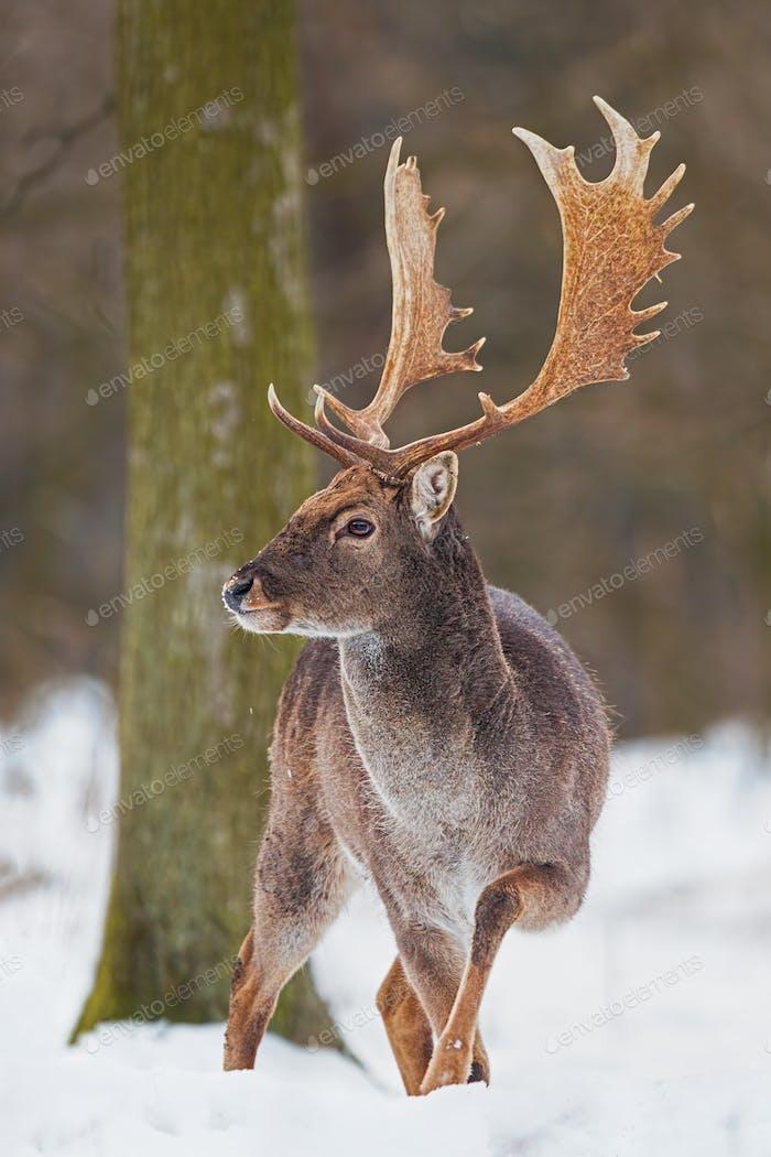 Wild Fallow deer, dama dama, male standing in snow