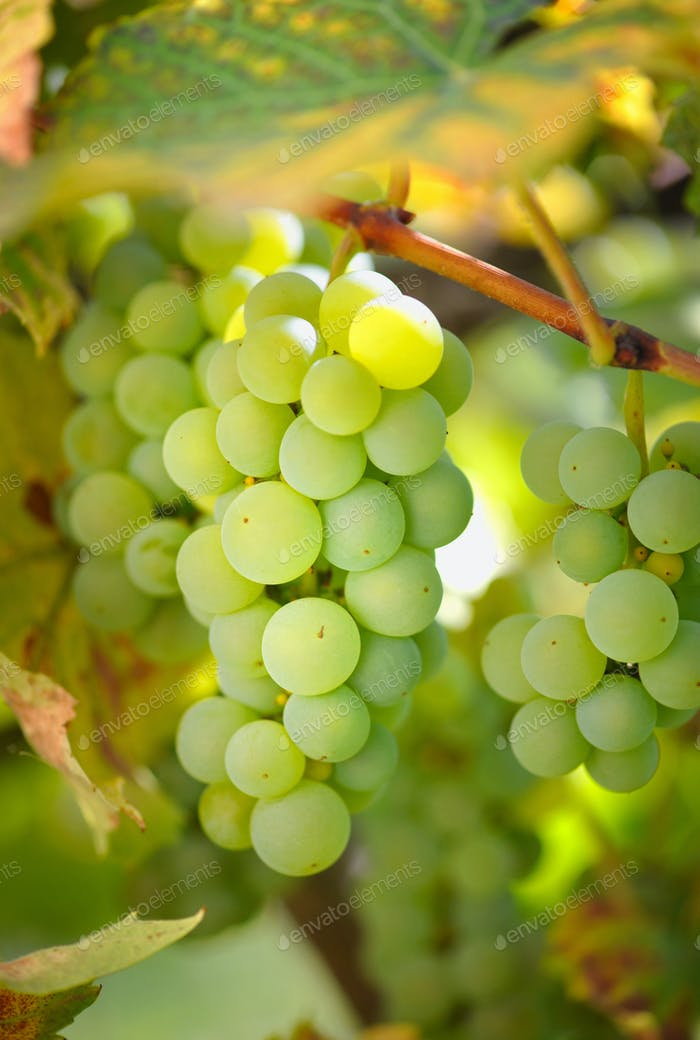 Green grapes on vine in sunlight