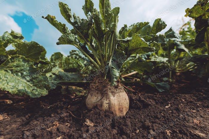 Zuckerrüben Wurzelpflanze im Boden