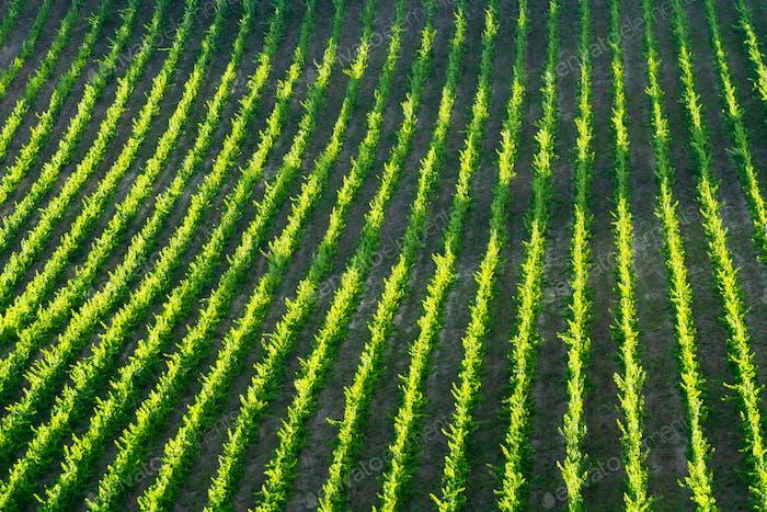 Filas de viñedo