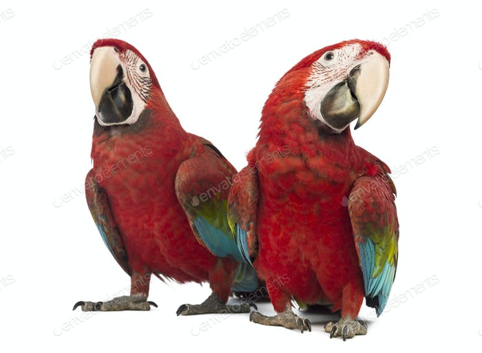 Two Green-winged Macaw, Ara chloropterus, 1 year old, in front of white background