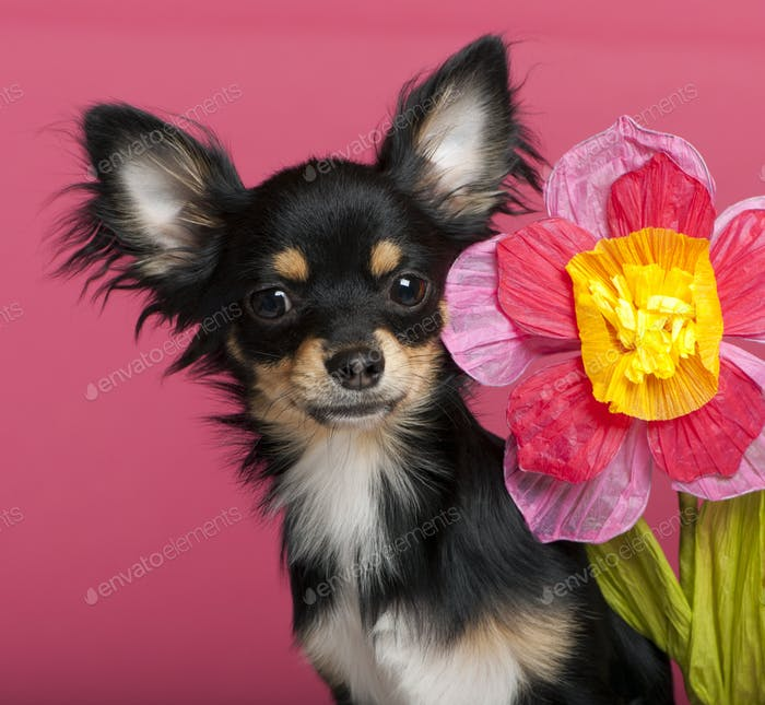Close-up of Chihuahua puppy with flower, 6 months old, in front of pink background