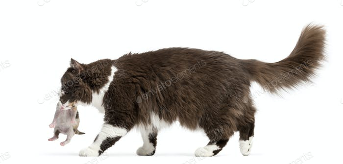 Side view of a British Longhair walking, carrying kitten, isolated on white