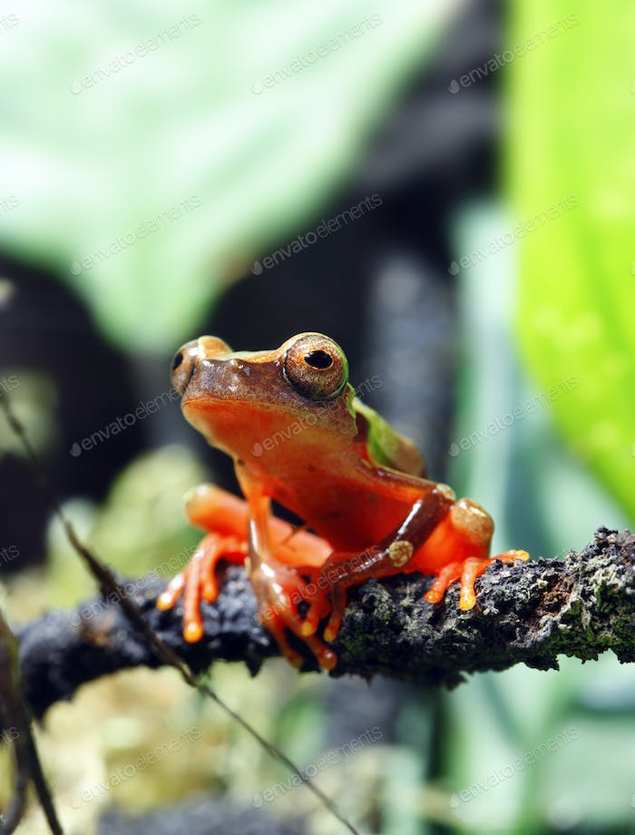 Clown Tree Frog