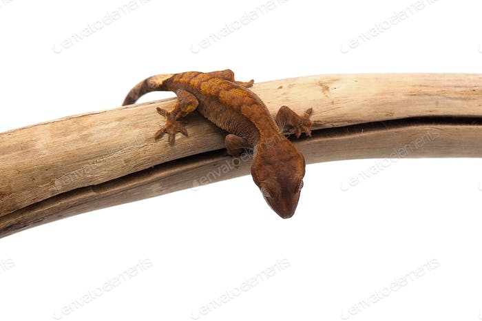 Crested gecko isolated on white background