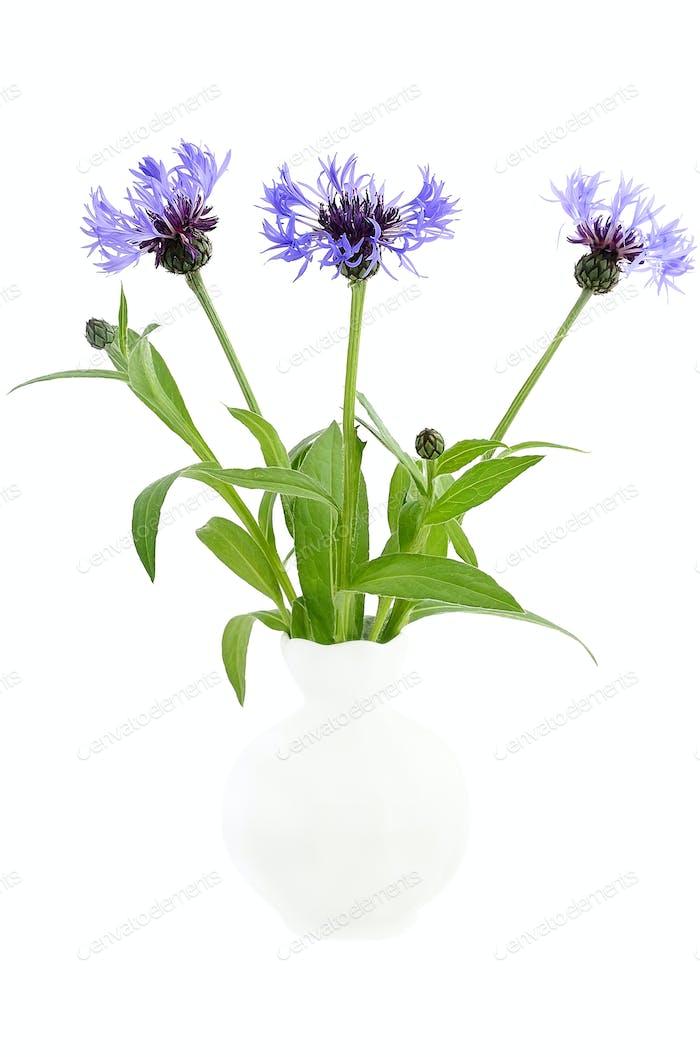 Cornflowers in the white ceramic vase