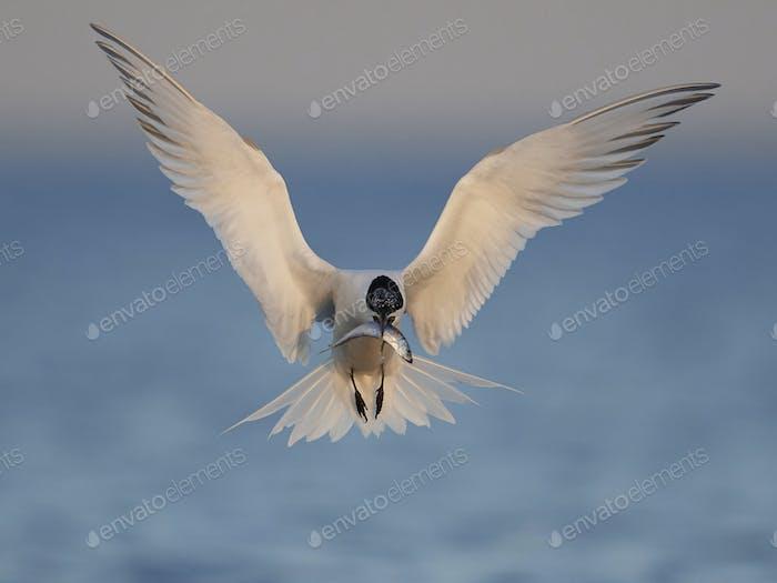Sandwichseeschwalbe (Thalasseus sandvicensis)