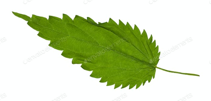 green leaf of Stinging nettle grass isolated