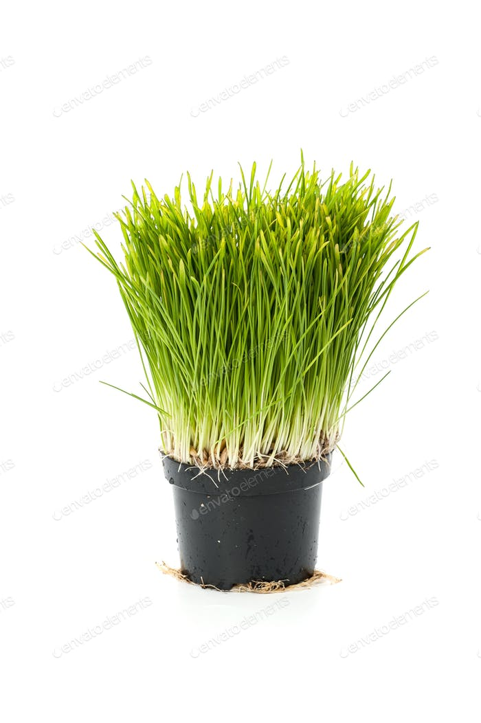 Lawn grass from sprouted oats in a small pot. Isolated on white