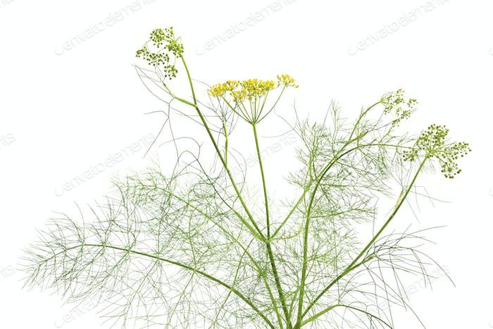 Flowering fenne