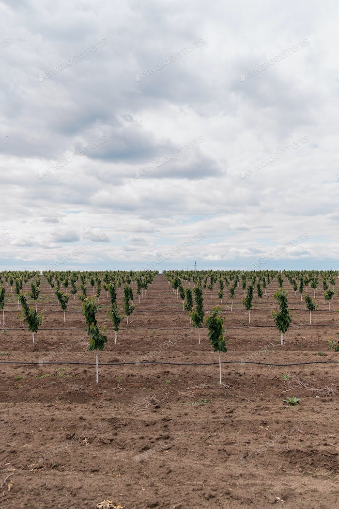 Plantation of cherry trees with sky in background