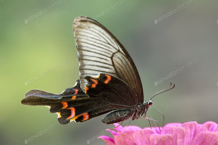 Beautiful big butterfly in Hongshilin national park