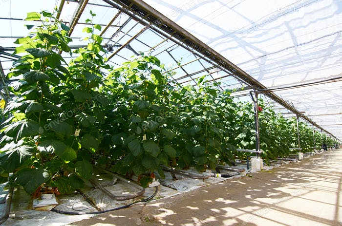 Cucumber vegetation