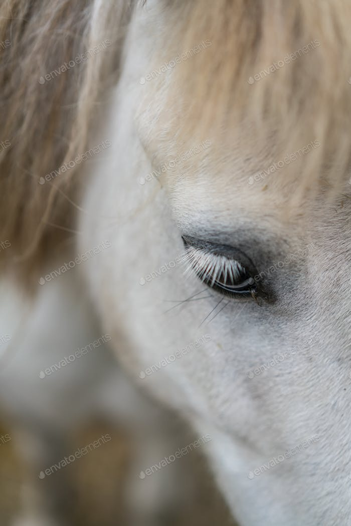 White stallion eye close up