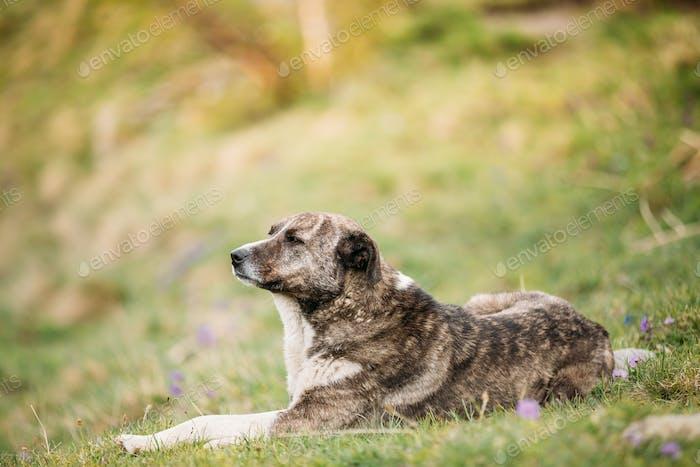 Zentralasiatische Schäferhund Schlafen im Freien