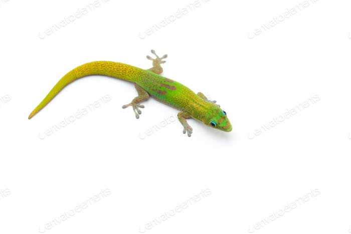 Green little Madagascar day gecko isolated on white background