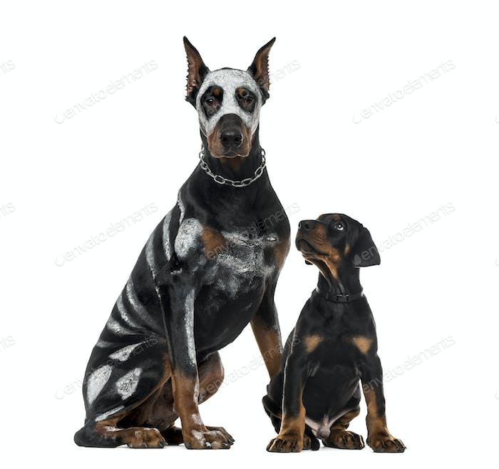 DisguisedDoberman Pinscher and puppy sitting , isolated on white