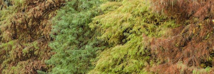 Bald cypress tree foliage in autumn