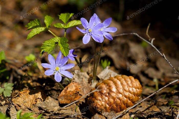 Flowers of violets in the spring forest