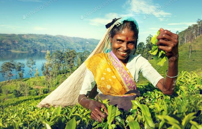 Indigenous Sri Lankan Tea Picker Harvesting Concept
