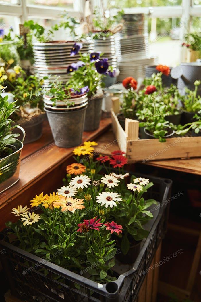 Storage of growing flowers in drawers in veranda