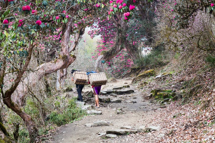 Two porters walking through a scenic trail with Rhododendron flower in Nepal