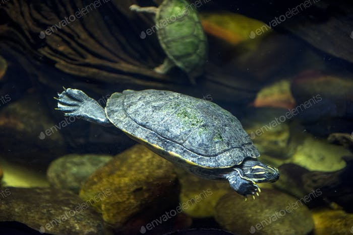 Sea turtle in an aquarium