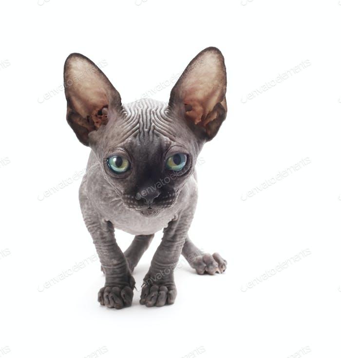 Kitten sphinx
