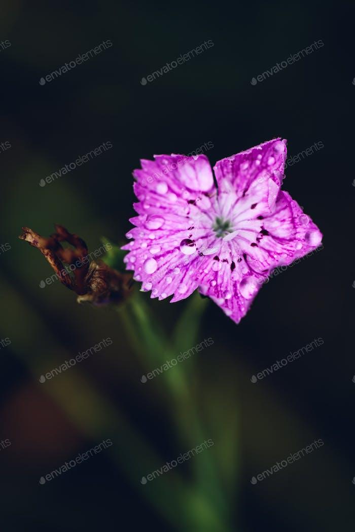 Flower of pink dianthus