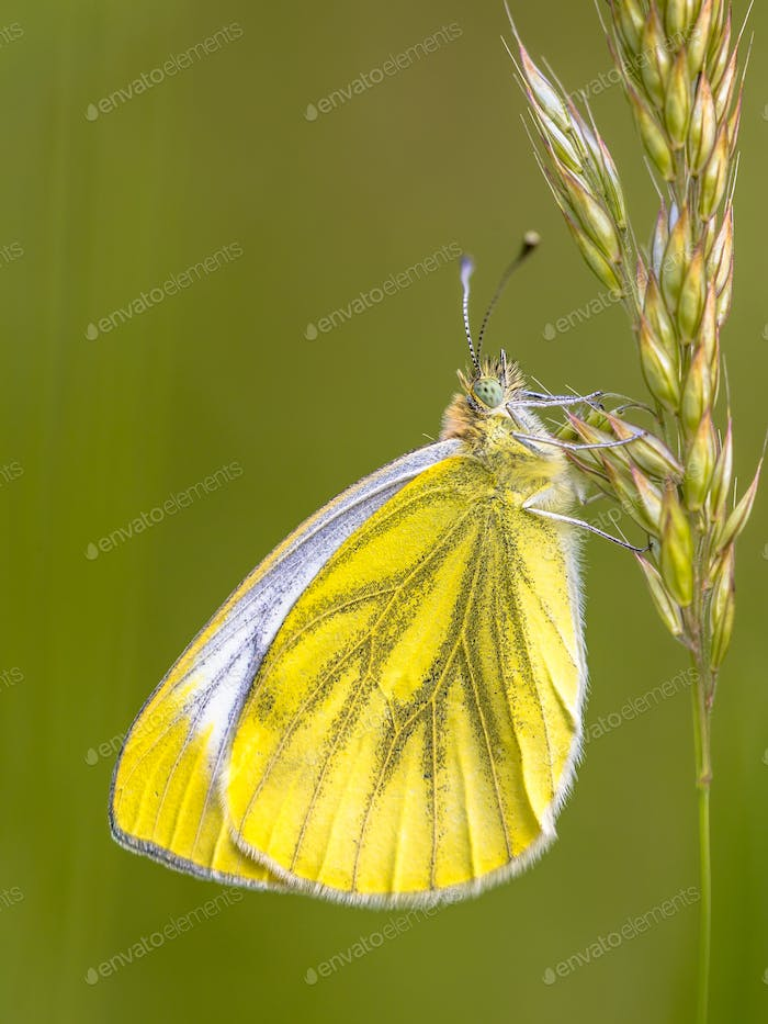 Green veined white on grass