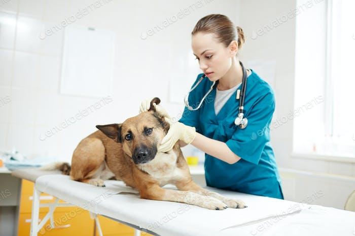Examining dog