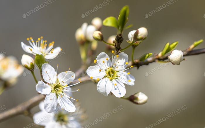 Blossom of common hawthorn closeup