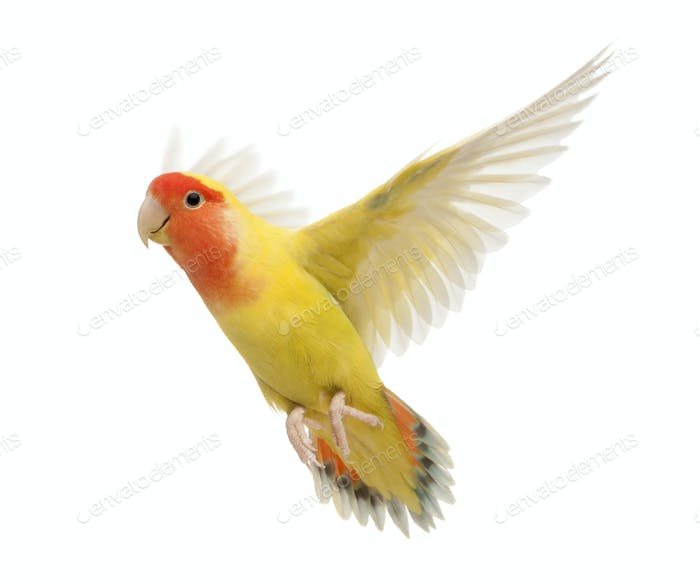 Portrait of Rosy-faced Lovebird flying, Agapornis roseicollis, also known