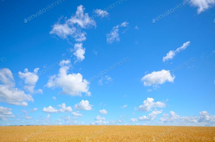 Campo de trigo verano soleado Día bajo cielo azul nublado