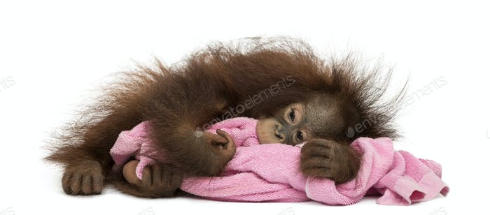 Young Bornean orangutan tired, lying and cuddling a pink towel, Pongo pygmaeus