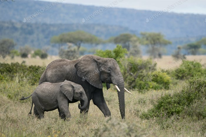 Elephants in Serengeti National Park, Tanzania, Africa