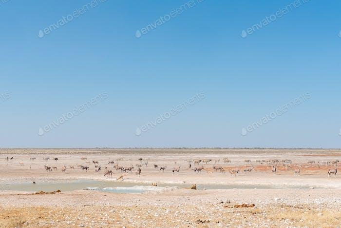 Lionesses watching oryx, springbok, ostrich and Burchells zebras